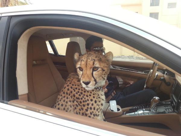 Cheetah in car