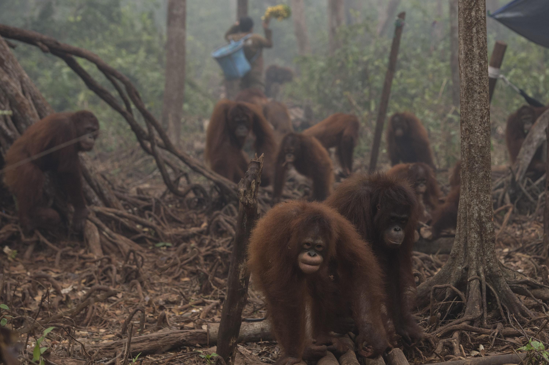 Orang utan beraktivitas di tengah kabut asap yang menyelimuti areal hutan sekolah Orang utan Yayasan Penyelamatan Orang utan Borneo (BOSF) di Arboretum Nyaru Menteng, Kalimantan Tengah, Senin (5/10). Sebanyak 473 individu Orang utan di yayasan tersebut terimbas asap dan terpapar ISPA akibat kebakaran lahan dan hutan. ANTARA FOTO/Rosa Panggabean.