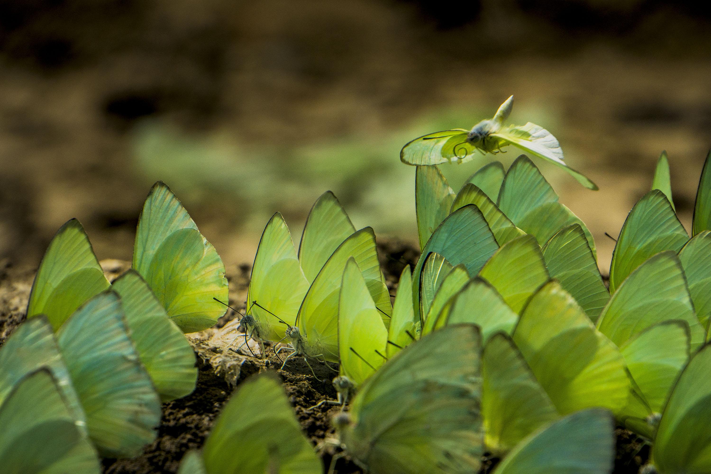 Sekelompok Kupu-kupu berwarna hijau berukuran sedang yang dikenal dengan nama latin 'Catopsilia Pomona' berkumpul di tepian sungai serayu di Desa Wlahar Kulon, Patikraja, Banyumas, Jateng, Minggu (25/10). Kupu-kupu tersebut saat ini berkumpul di sepanjang aliran sungai serayu mencari tempat dengan kadar air dan tingkat kelembaban tinggi sehingga bisa menjadi bioindikator lingkungan sungai serayu. ANTARA FOTO/Idhad Zakaria.