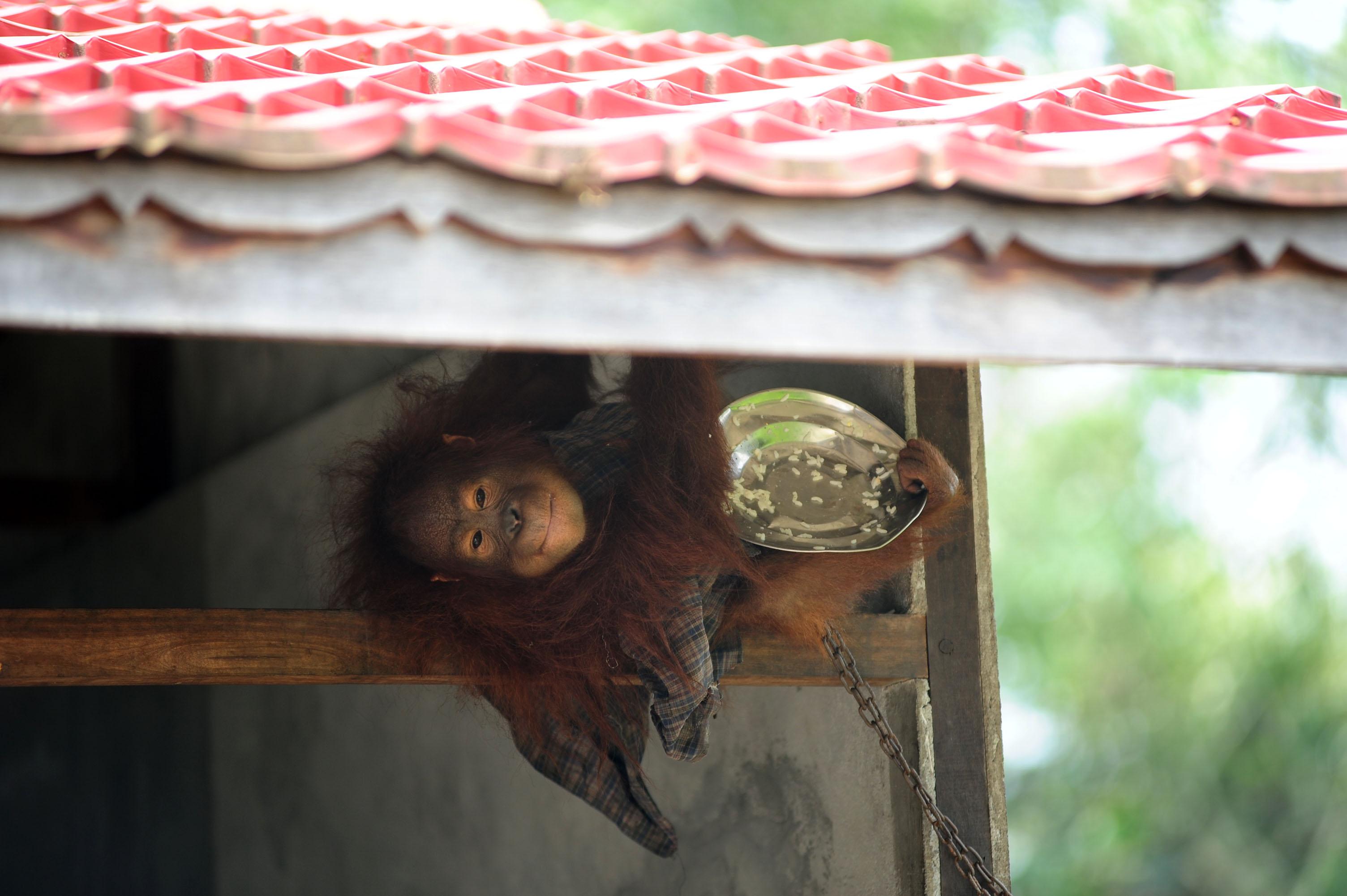 Seekor Orangutan yang dirantai, memegang piring berisi makanan, di rumah warga yang memeliharanya di Desa Korek, Kecamatan Ambawang, Kabupaten Kubu Raya, Kalimantan Barat, Rabu (7/10). Orangutan tersebut untuk kedua kalinya gagal dievakuasi BKSDA Kalbar, karena pemiliknya menolak untuk menyerahkan hewan primata yang dilindungi itu. ANTARA FOTO/Jessica Helena Wuysang.