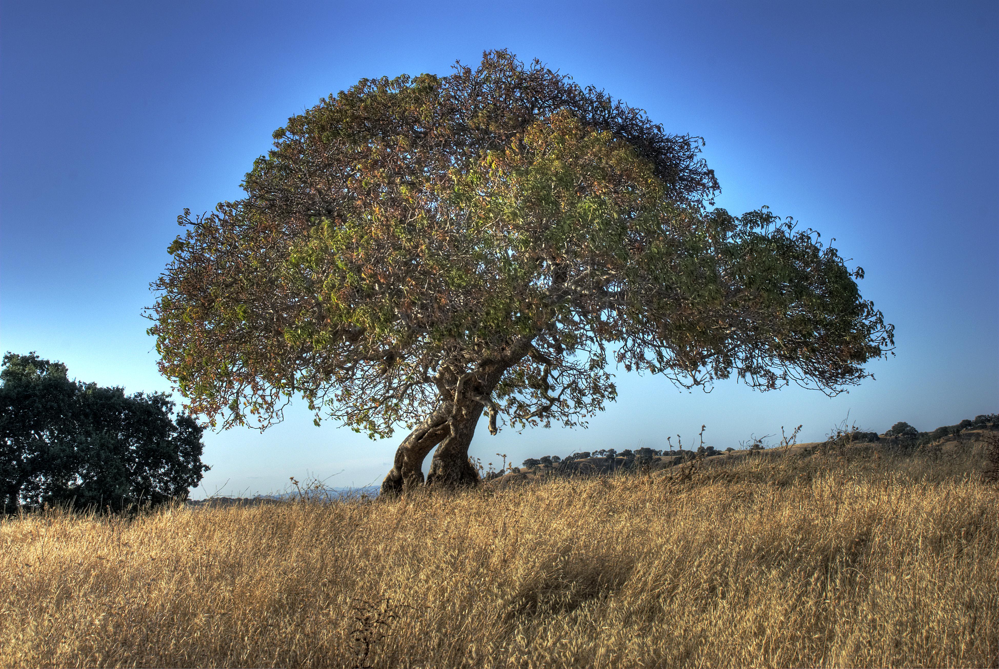 Lone Oak, Briones Regional Park - HDR. Flickr -  Bud Ellison.