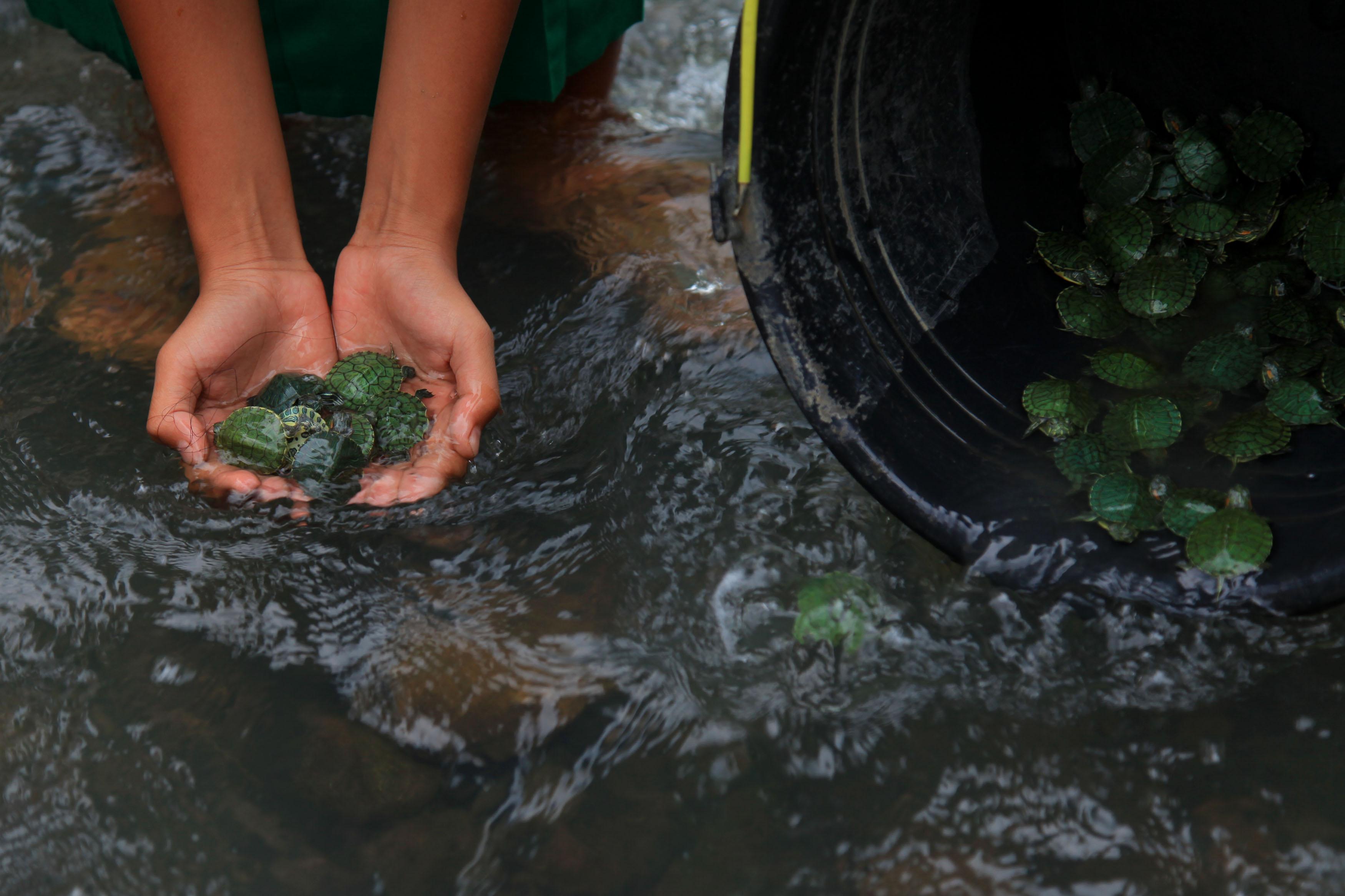 Warga melepas sejumlah kura-kura di aliran Sungai Keduang, Jatiroto, Wonogiri, Jawa Tengah, Rabu (11/11). Kegiatan melepas 1.000 ekor kura-kura dan 2.000 ekor bibit ikan lele dan nila yang diselenggarakan Kementerian Lingkungan Hidup dan Kehutanan melalui Pusat Pengendalian Ekoregion Jawa tersebut digelar dalam rangka memperingati Hari Cinta Puspa dan Satwa Nasional, sekaligus bertujuan untuk menekan laju kerusakan dan pencemaran lingkungan. ANTARA FOTO/Maulana Surya.