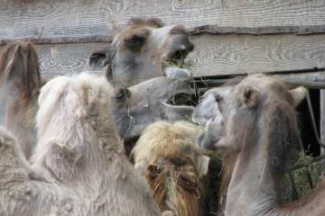 Camel Feeding. Flickr - Daniel @colblindor.