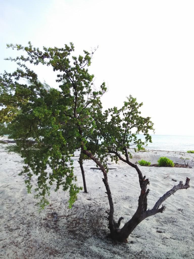 Tanaman Tepi Pantai 3