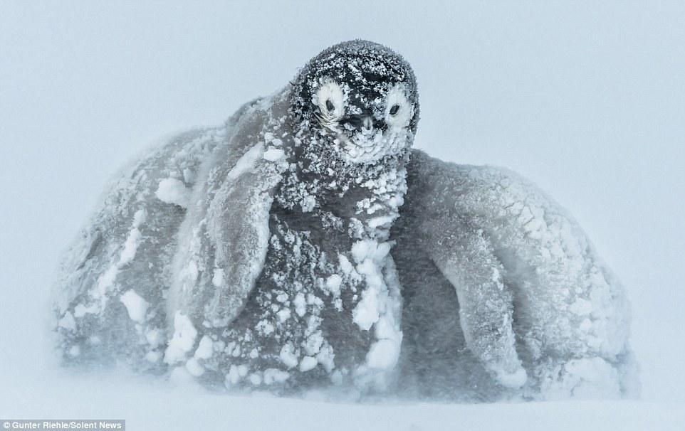 Baby Penguin 3