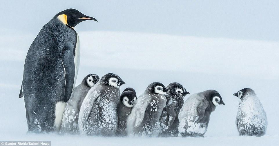 Baby Penguin 6