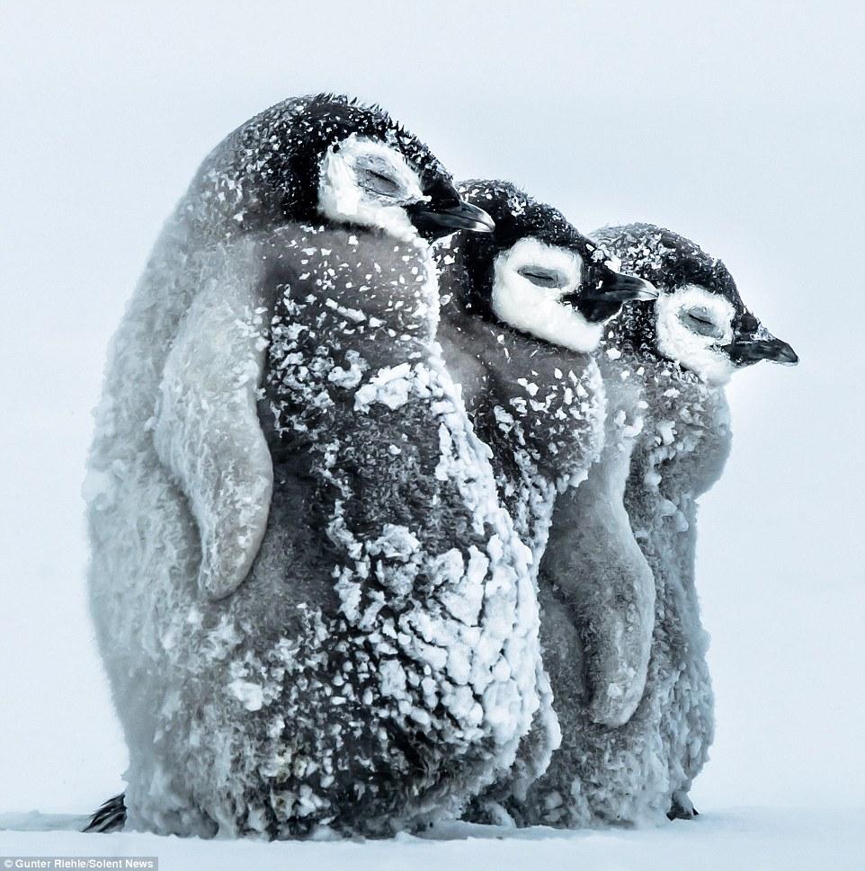 Baby Penguin 8