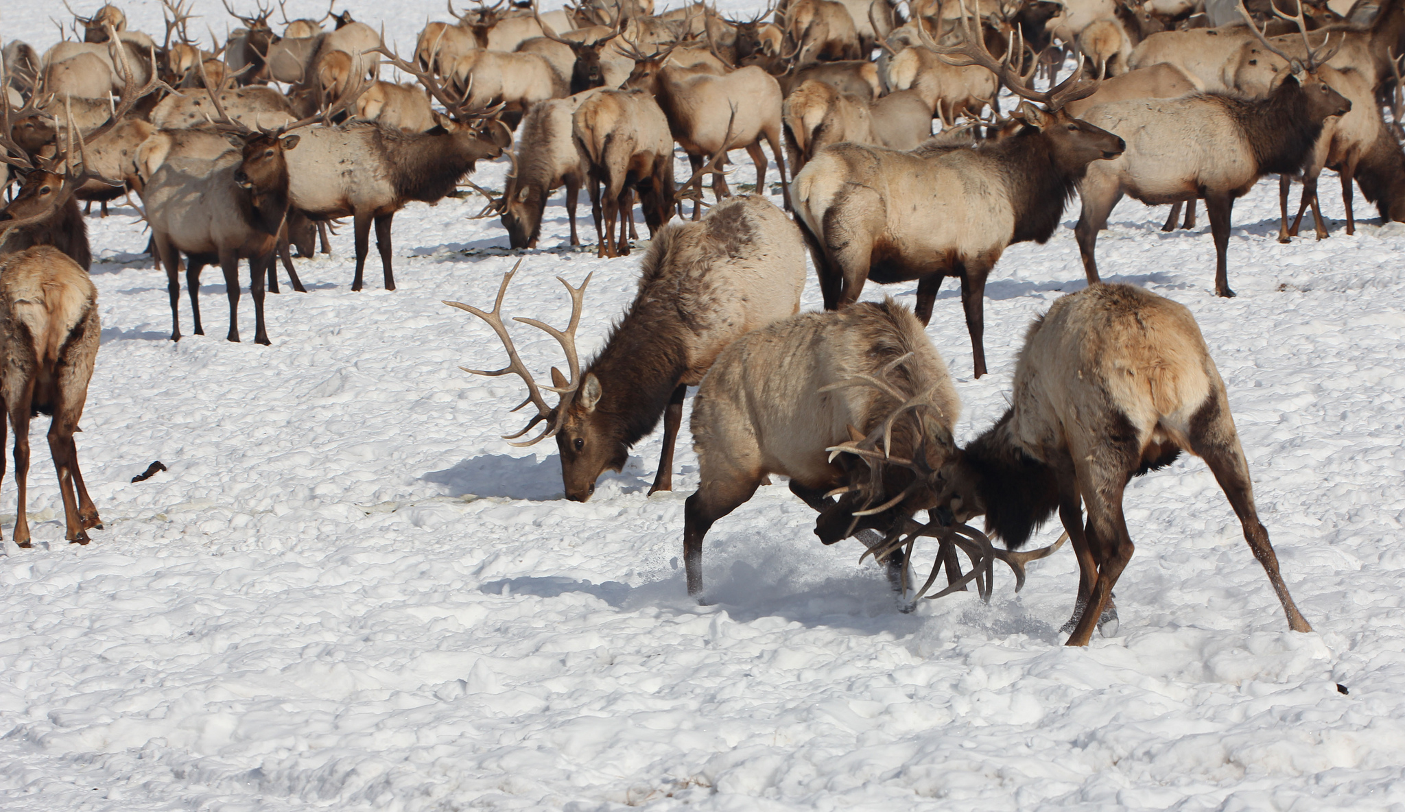 Though bulls most actively display dominance during the fall rut, they can frequently be seen clashing antlers with rival males during the winter. Credit: USFWS / Tony Hough, National Elk Refuge volunteer.