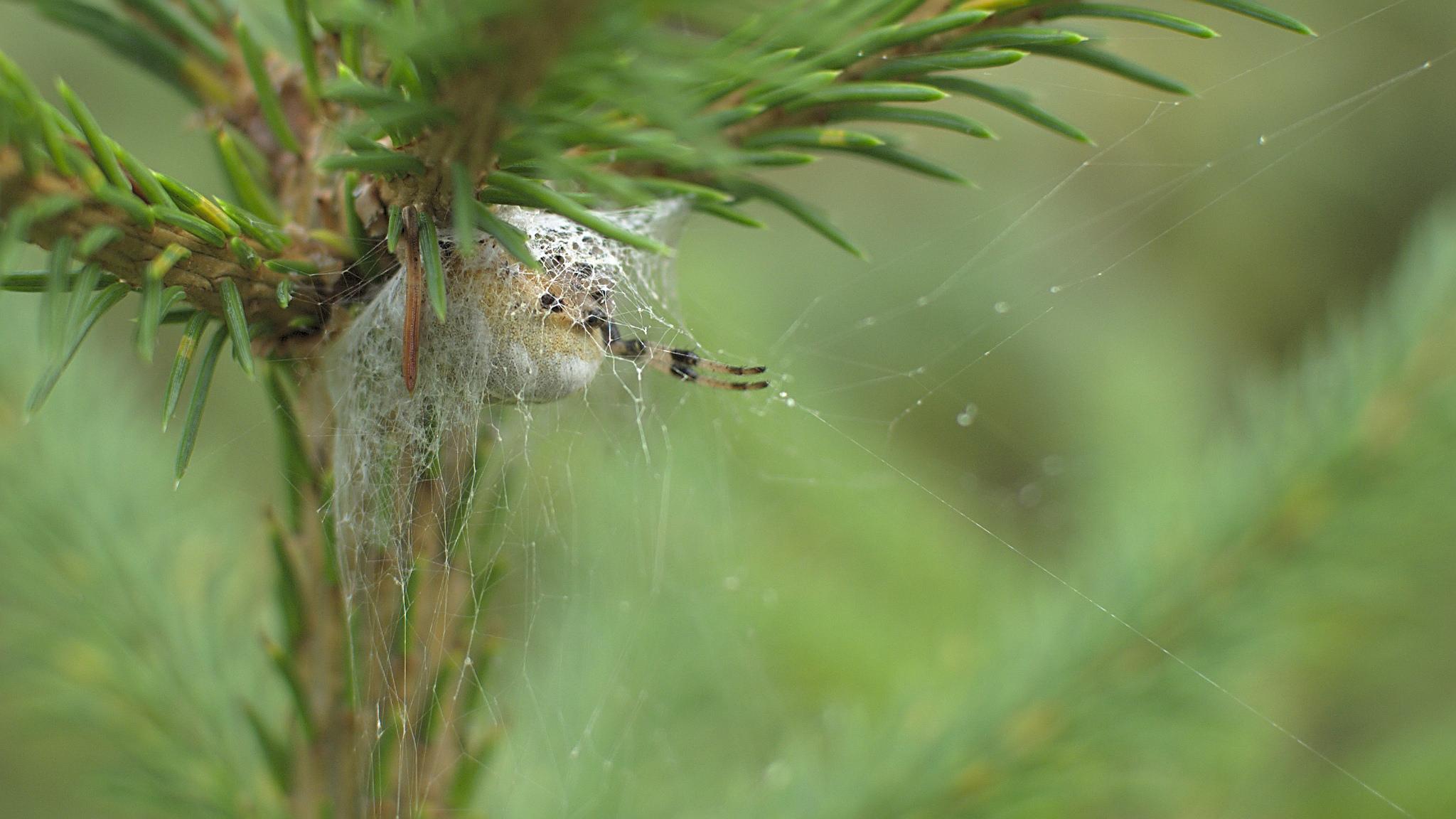 Flickr - Lurking spider - Hanna Sörensson