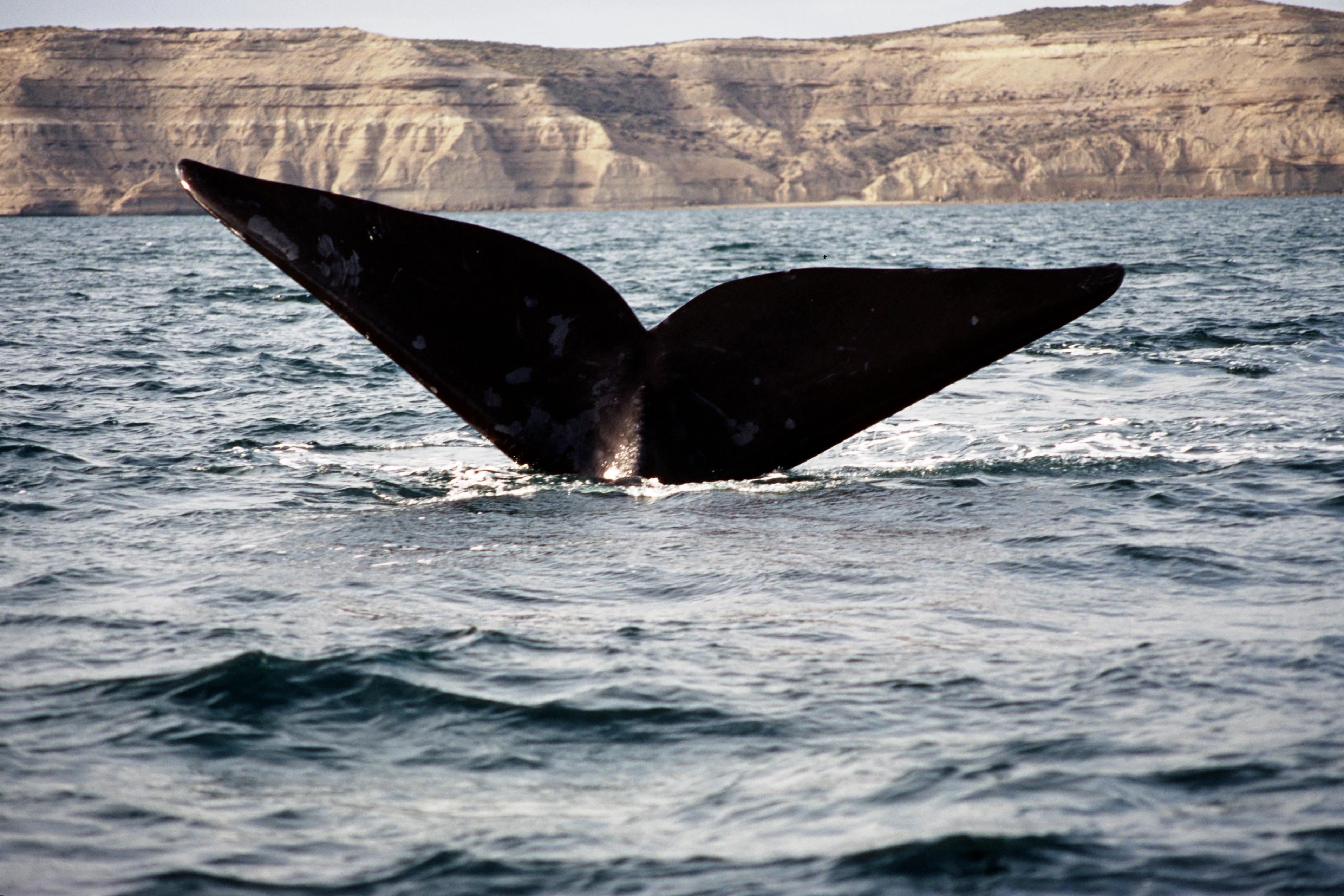 Whale - Peninsula Valdes - ARGENTINA. Flickr - Mazali.