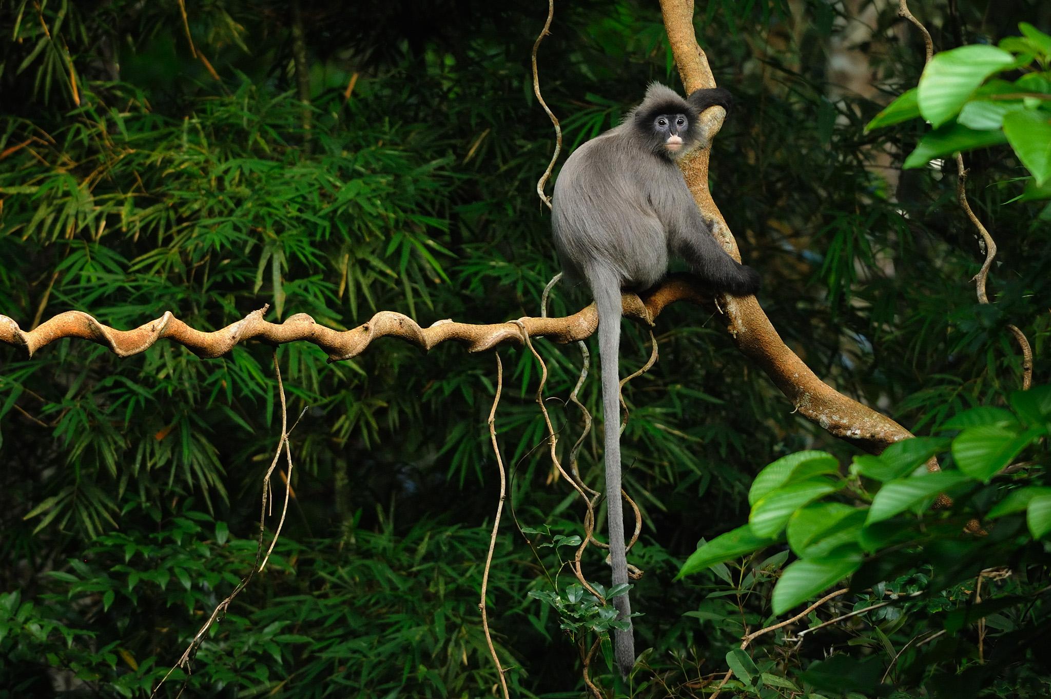 Phayre's Langur also known as Phayre's Leaf Monkey, Trachypithecus phayrei in Phu Khieo Wildlife Sanctuary, Thailand. Flickr - tontantravel.