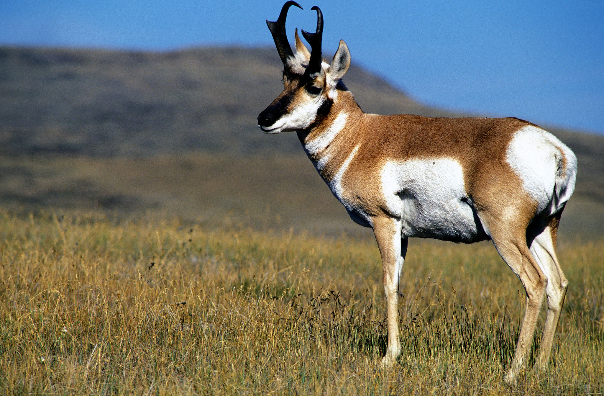 CMR National Wildlife Refuge was established, in part, for pronghorn antelope. Credit: USFWS.