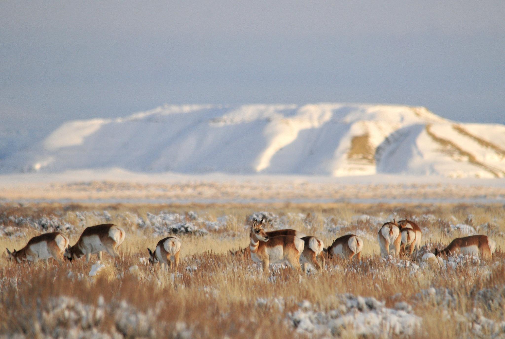 Pronghorns on Winter Range Near Seedskadee NWR. Photo: Tom Koerner/USFWS.