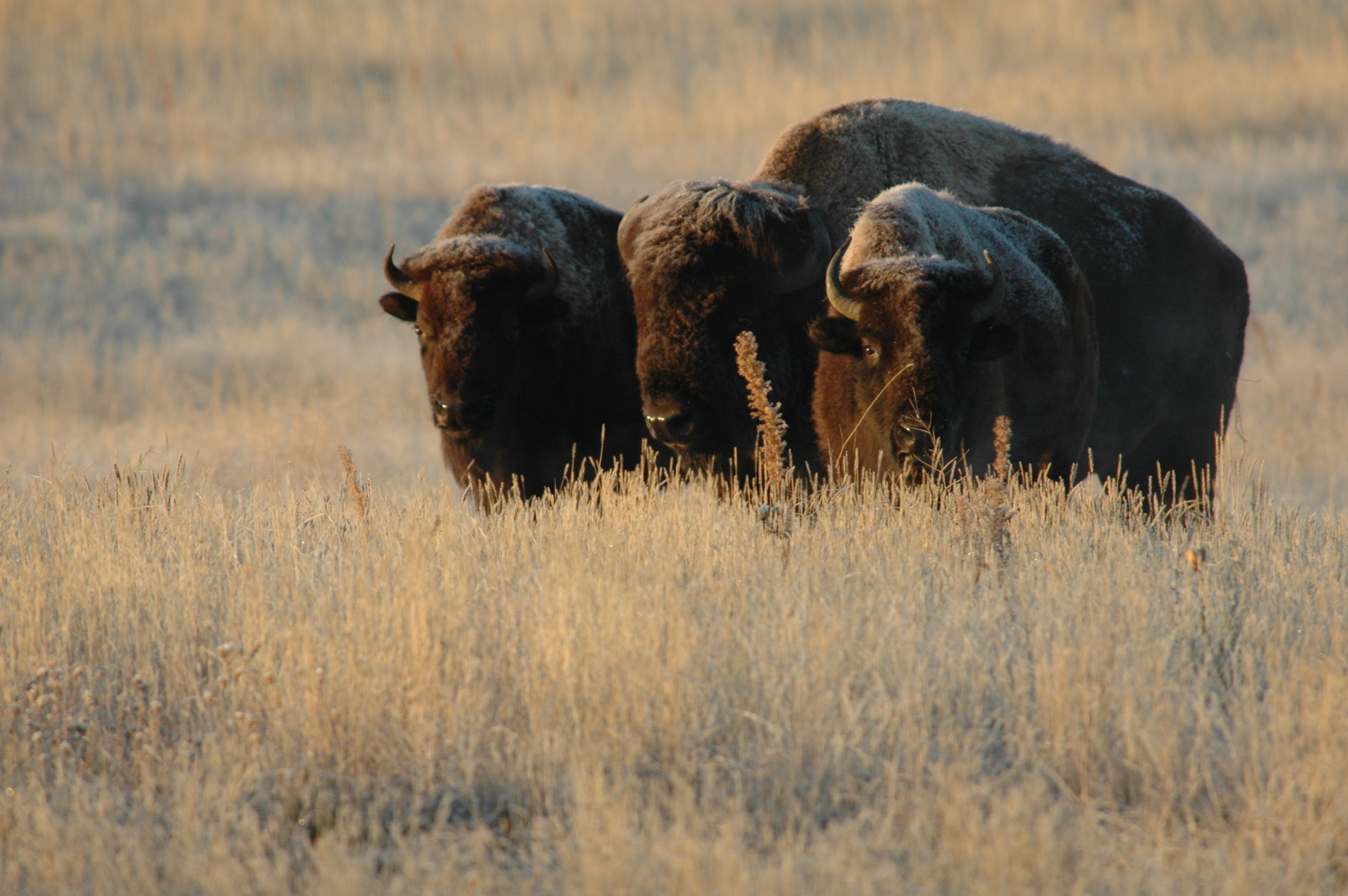 Bison graze on the Rocky Mountain Arsenal National Wildlife Refuge established in 2004. Photo by: Rich Keen/DPRA INC. Flickr - U.S. Army Environmental Command.
