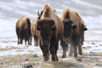 A group of bison trudge across the landscape at the National Elk Refuge. Credit: Lori Iverson / USFWS.