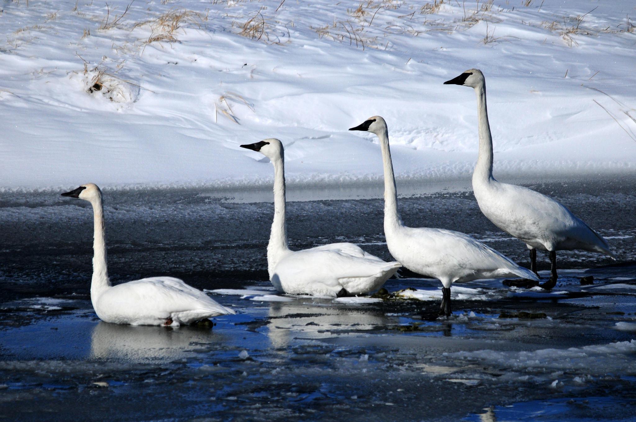 Trumpeter Swans. Photo: Tom Koerner/USFWS.