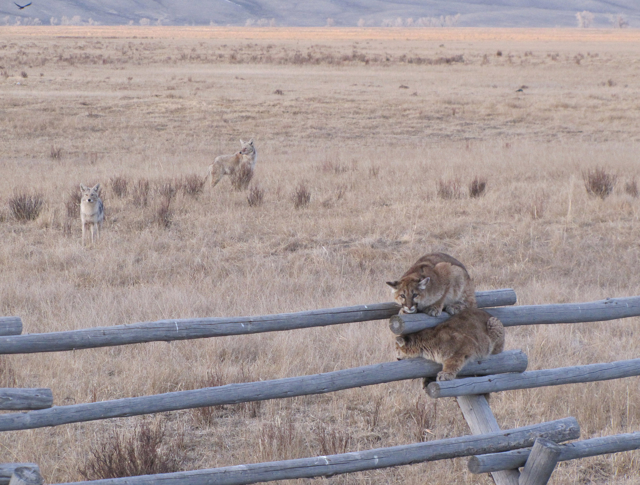 The National Elk Refuge's Outdoor Recreation Planner witnessed a spectacular standoff between two juvenile mountain lions and five coyotes. The coyotes let the cats know they weren't welcome in the area. The mountain lions sought safety on a buck and rail fence for over an hour while the coyotes lurked in the background. Now, two of the five coyotes can be seen in the background as one of the mountain lions looks anxiously behind. Credit: Lori Iverson / USFWS.