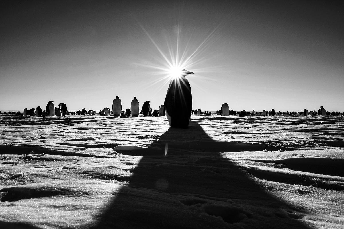 Flickr - An Emperor Penguin basks in Antarctica's Midnight Sun. - Christopher Michel