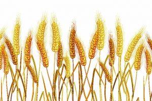 Wheat Grain2